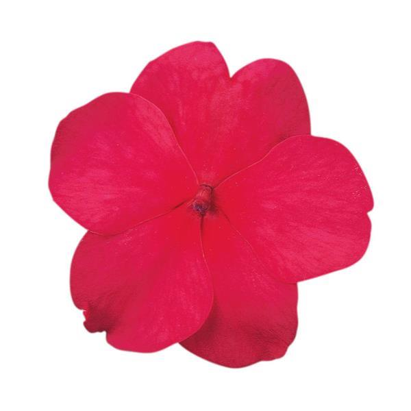 DeZire™ Cherry Impatiens