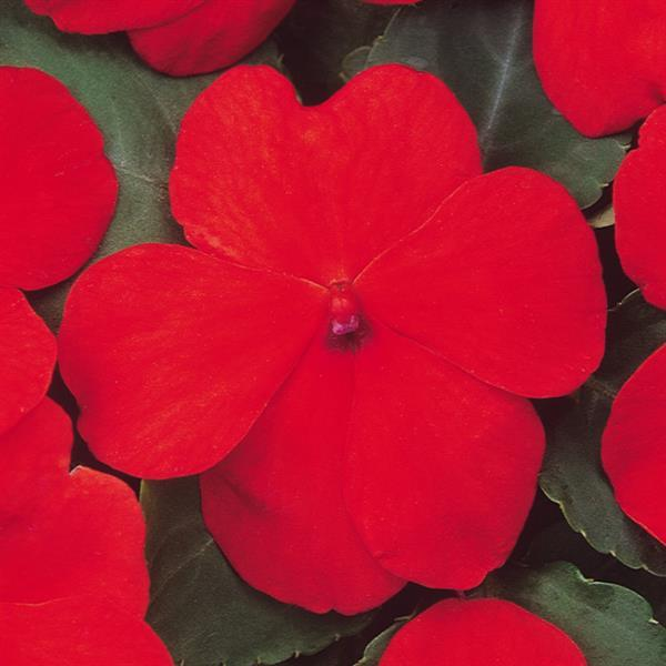DeZire™ Deep Orange Impatiens