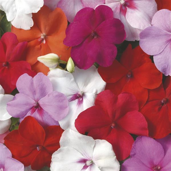 DeZire™ Mixture Impatiens