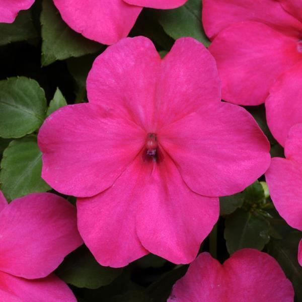 DeZire™ Rose Impatiens