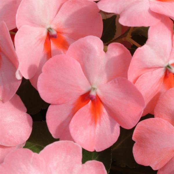 DeZire™ Salmon Splash Impatiens