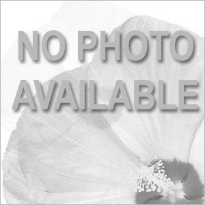 Amerihybrid Picotee Sunburst Tuberous Begonia