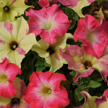 Petunia Lime Coral